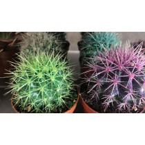 copy of Cactus colorés